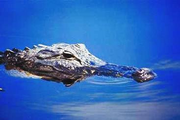 krokodil steckbrief englisch