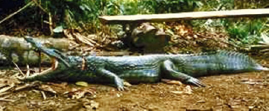 wie heisst krokodil auf englisch